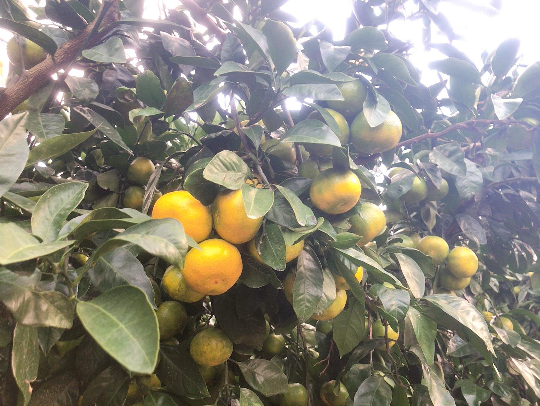 ▲濟州島橘子籃橘子果樹,圖片版權:stunning-asia.com